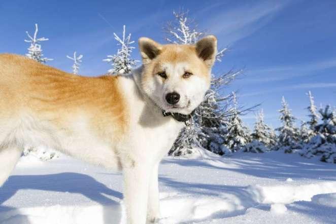 Cães que vivem muito bem na neve nova odessa fatos e eventos (3)