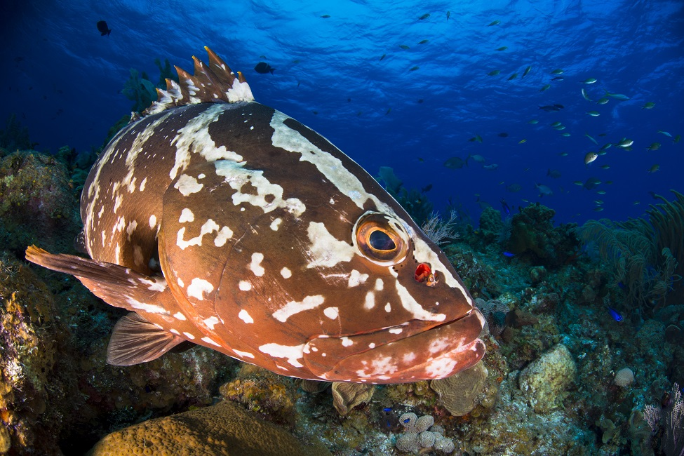 FAU  Eavesdropping on Groupers Mating Calls Key to