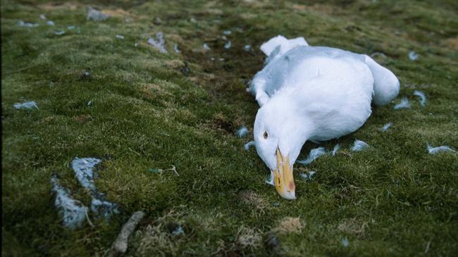 polarmåke