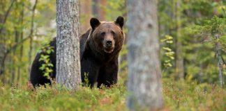 brunbjørn bjørn
