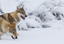 ulv flokk jakt snø villmark