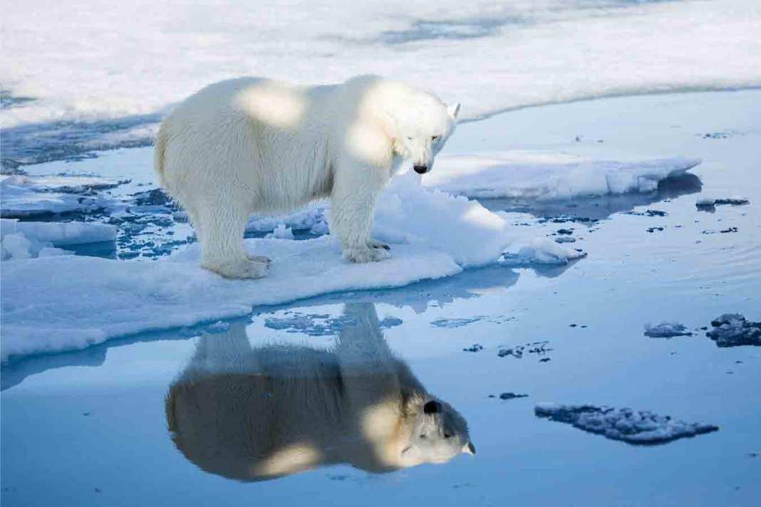 isbjørn arktis polarinstitutt