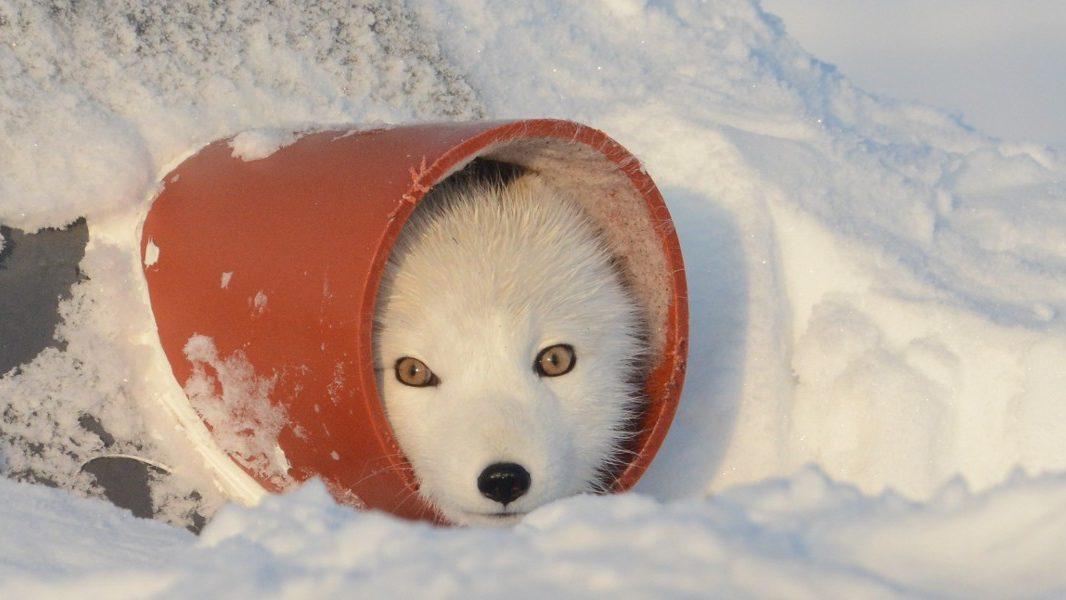 ulv ulveflokk rovdyr