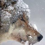 cropped-wolf-1975823_1920.jpg