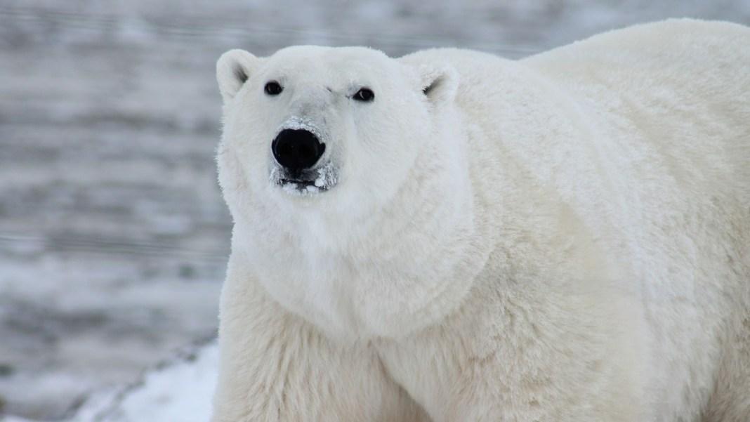 isbjørn død bedøvet