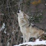 wolf-1992716_1280