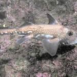 CHIMAERA : RAT FISH