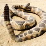 CROTALUS : RATTLE SNAKE