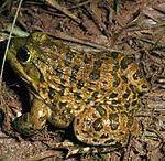 HOPLOBATRACHUS TIGRINUS : BULL FROG