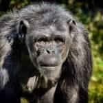 chimpanzee, monkey, animal world