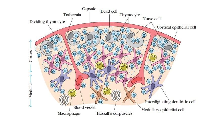 lymphoid organs, thymus