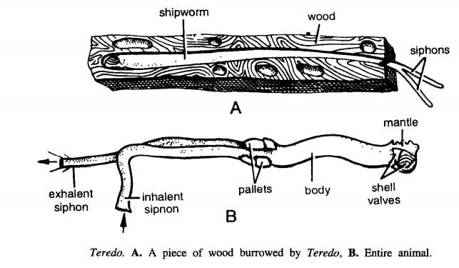 TEREDO (SHIPWORM)
