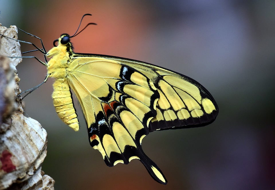 PAPILIO (BUTTERFLY) INSECT ARHTROPODA