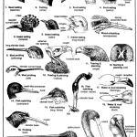 TYPES OF BEAKS IN BIRDS