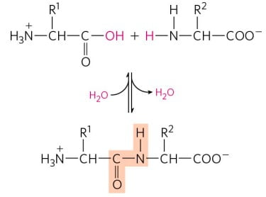 STRUCTURE OF AMINO ACIDS AND PEPTIDE