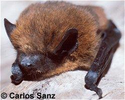 Murciélago común (Pipistrellus pipistrellus)