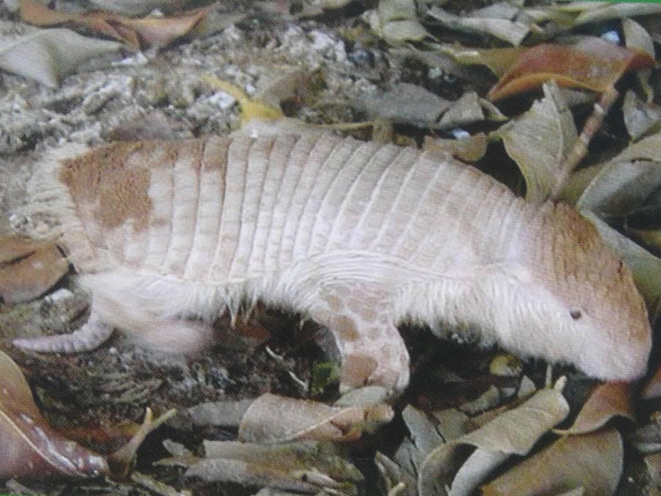 CHACO FAIRY ARMADILLO Calyptophractus retusus FAUNA PARAGUAY