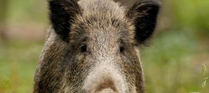 Peste porcine africaine ; confirmation de deux sangliers positifs en Belgique