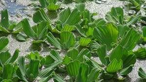 Laitues d'eau (Pistia stratiotes) Plante flottante pour aquarium