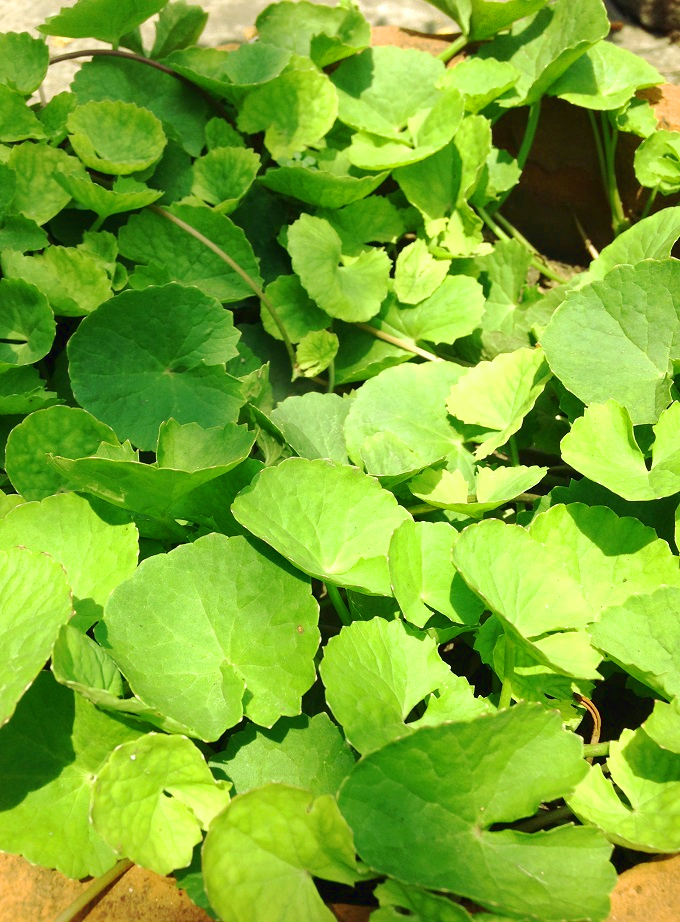 Rapidly growing Gotu kola in a container