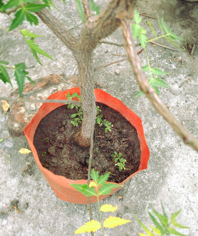 Neem plant in container