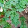 grow karela