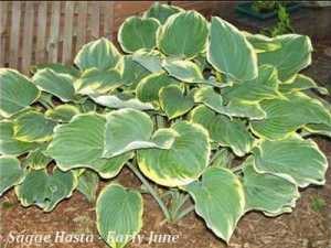 Sagae Hosta in early June