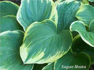 sagae-hosta-leaf-400