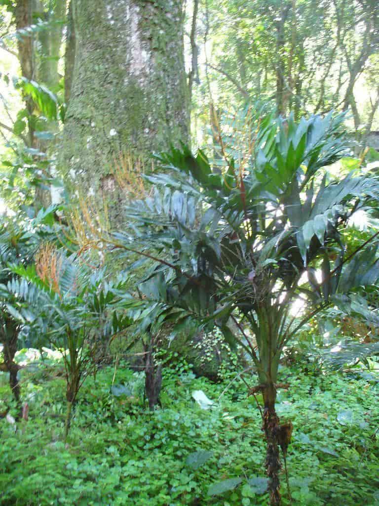 Palmeira Camedrea Chamaedorea Elegans  FazFcil