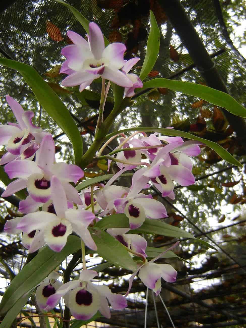 Orqudea OlhodeBoneca Dendrobium nobile  FazFcil