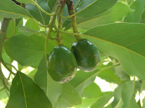 Abacateiro Persea americana  FazFcil