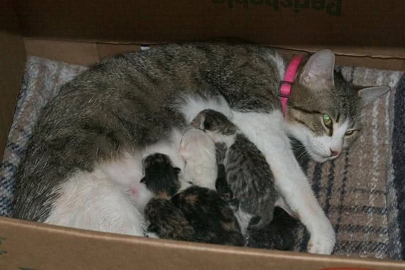 O parto da gata O que fazer  FazFcil