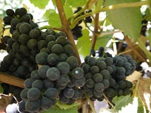 Griva Vineyard - Clone 777 Pinot
