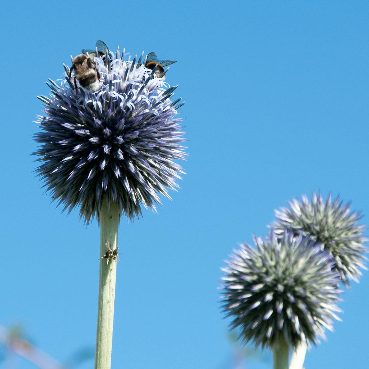 Bumblebees on Echinops flower