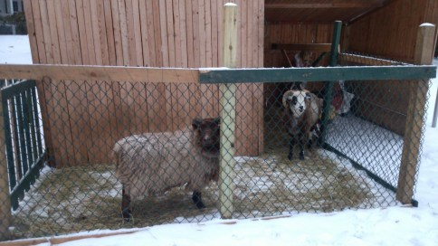 2013 Sheep in creche