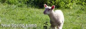 New Spring Lamb