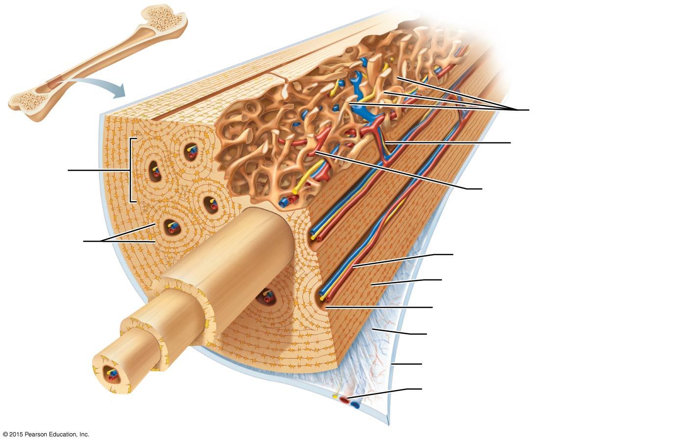 Diagram Of Bone With Labels Filippi Jennifer Useful Study Dox