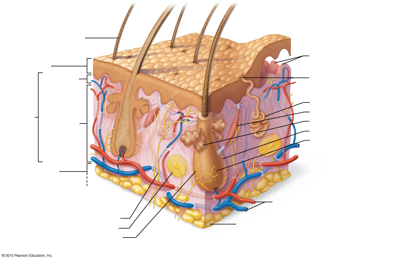 skin layers diagram labeled simple jeep jk radio wiring unlabled of great installation unlabeled diagrams scematic rh 87 jessicadonath de 5