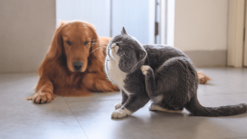Photo of cat scratching itself in the foreground with a dog watching in the background
