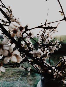 close up of blackthorn blossom