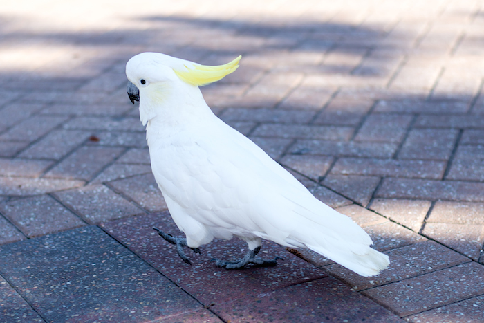 Manly Beach Cockatoo
