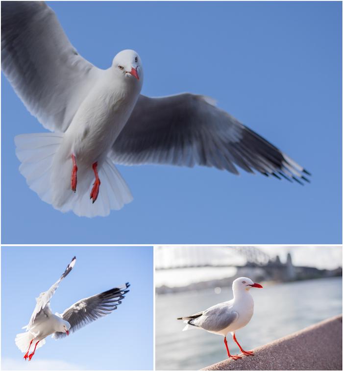 Sydney Gulls