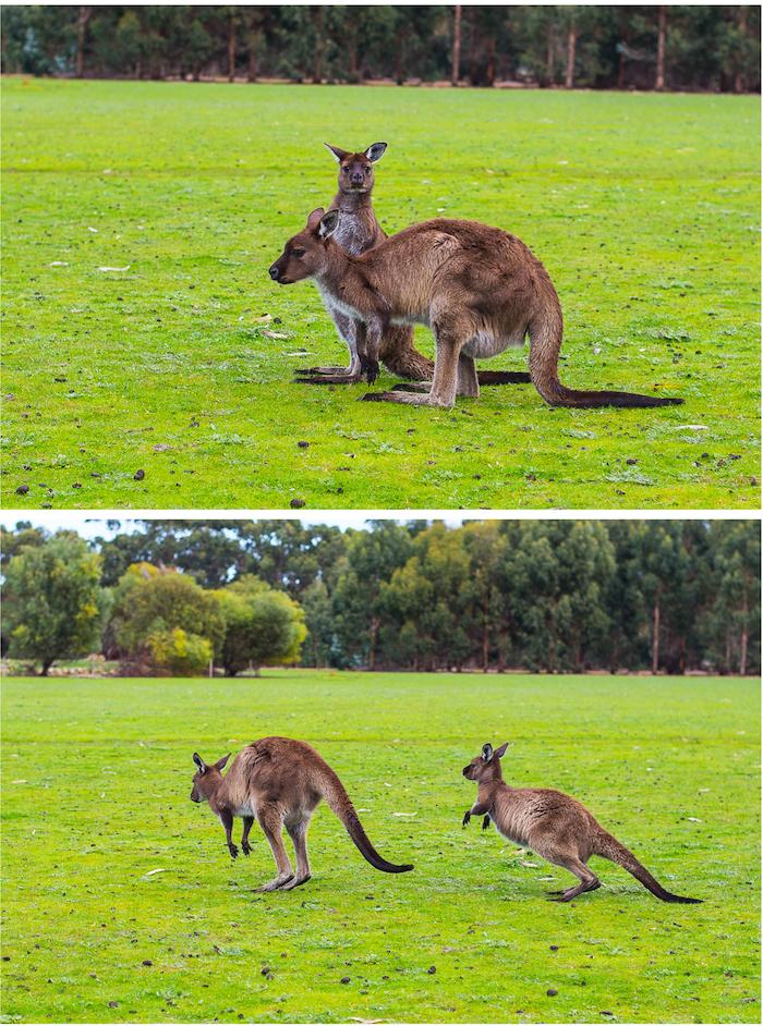 Southern Ocean Lodge Kangaroos