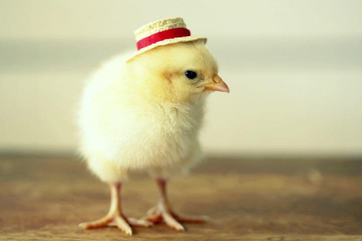 Cute Animal Wallpaper For Laptop Julie Persons Chicks In Hats Feather Of Me