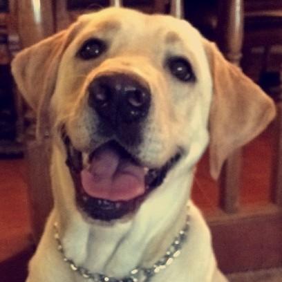 Labrador Retriever – Norman