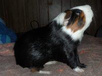 Johnny - Guinea Pig