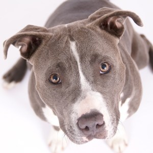 Bulleit - American Staffordshire Terrier