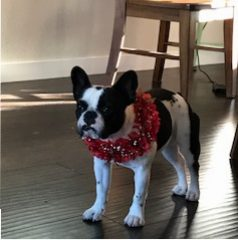 Cookie – French Bulldog