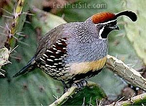 Male Gambel's Quail - by Tommy Green