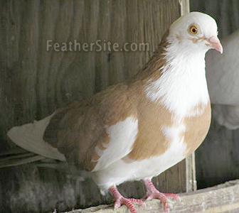 Galetini Roller Pigeons